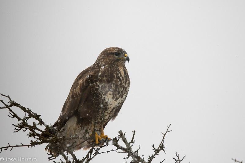 Águila ratonera. Foto: Eguzki