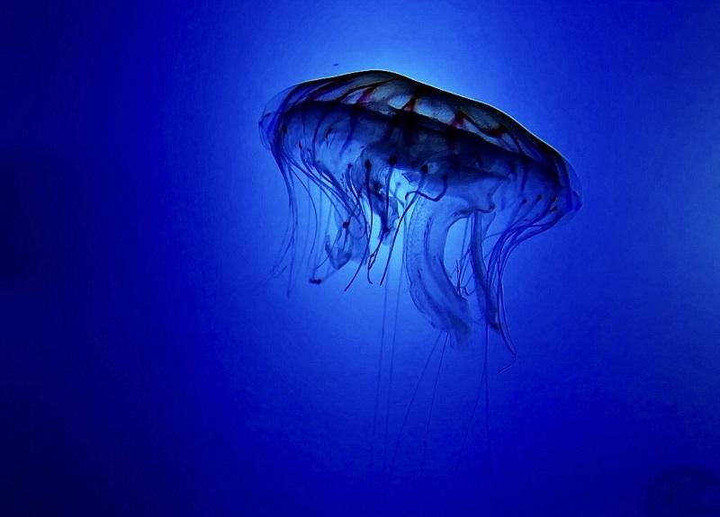 Medusa ortiga. Foto: Aquarium