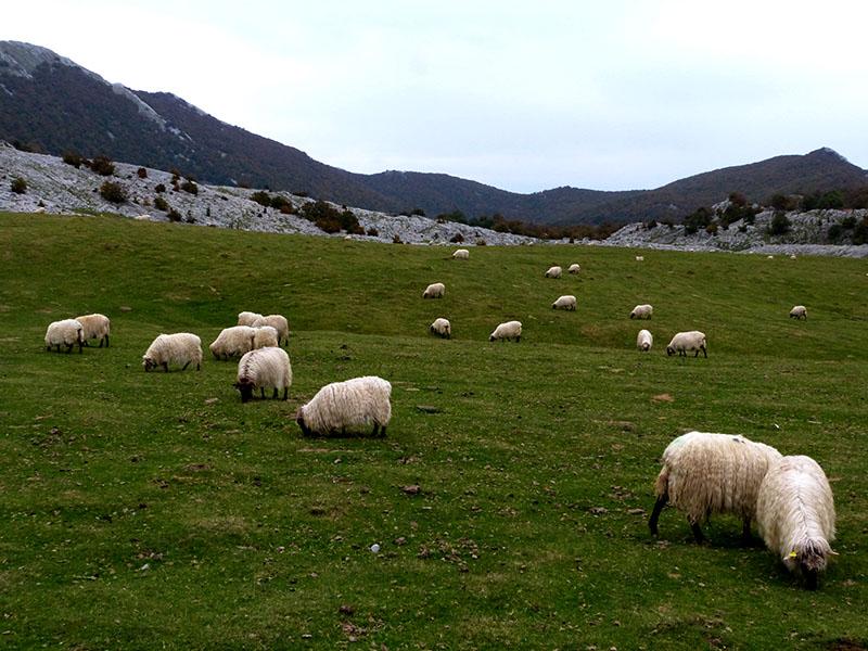 Ovejas latxas en la zona del Aizkorri. Foto: Sergio Tierno