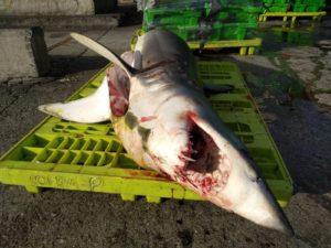 tiburones2 300x225 - Eguzki denuncia la captura de tiburón azul en Ondarroa (Bizkaia)