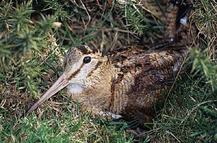Becada o chocha perdiz. Foto: cazavision.com.