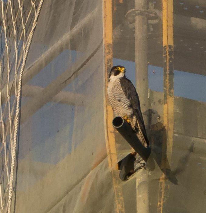 El halcón en el Buen Pastor. Foto: Enrique Rossignol