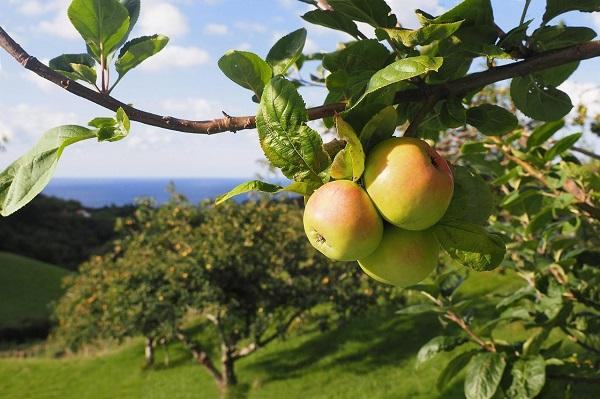 Manzana de primera calidad. Foto: Euskal Sagardoa.