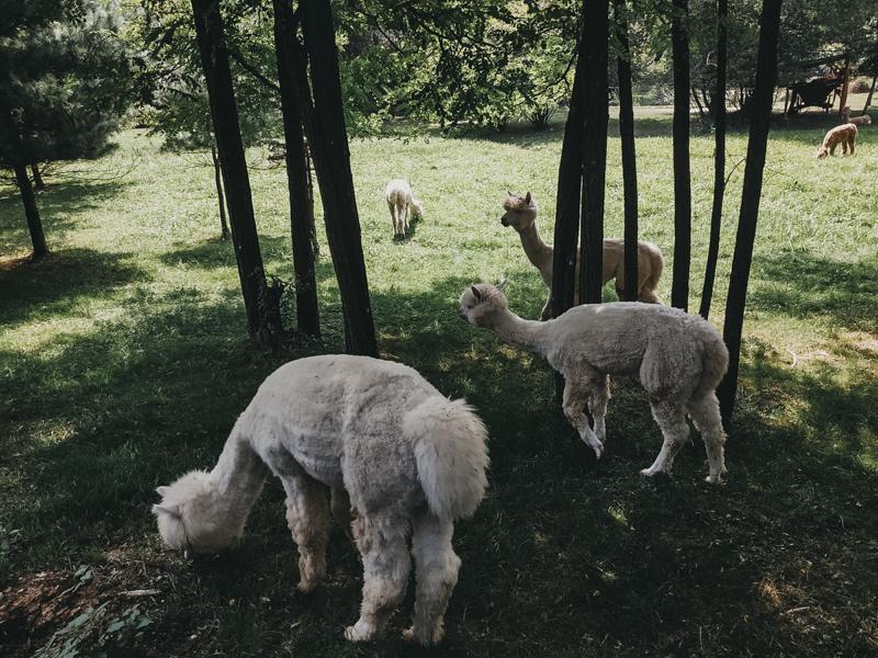 Granja de alpacas en  Szaknyér.