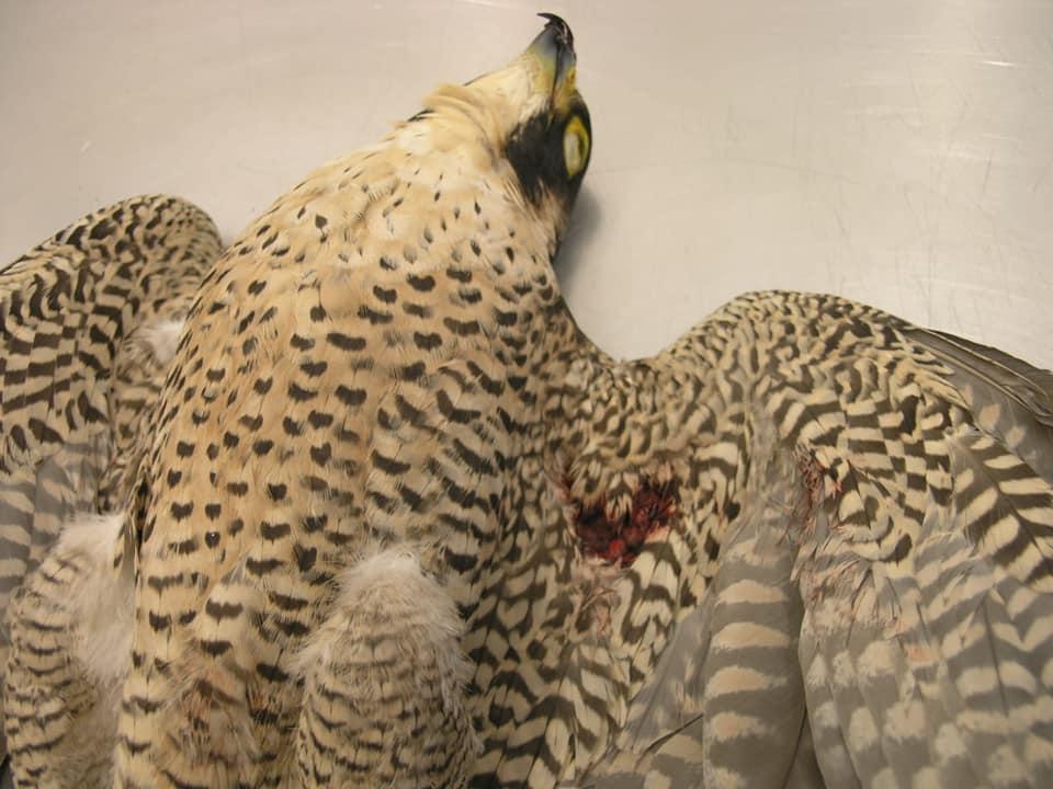 Un halcón hallado muerto en Muskiz. Los ornitólogos la identificaban (era hembra) con el nombre de Olaia. Fotografía de Bizkaiko Basozainak