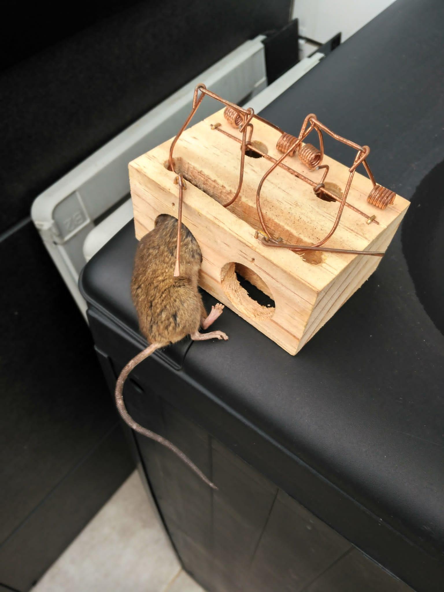 Plaga de ratas Txomin Enea