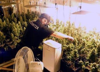 Plantación de marihuana en Tolosa. Foto: Ertzaintza