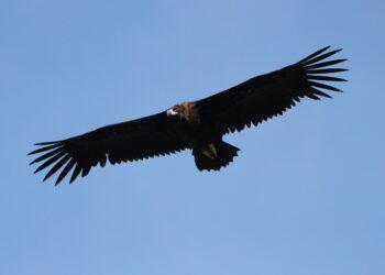 El buitre negro visto el sábado en Donostia. Fotos: Xabier Saralegi