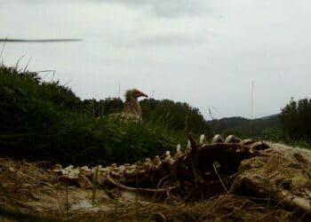 Alimoche en Antondegi. Foto: Itsas Enara Ornitologia Elkartea
