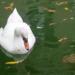 Cisne en Zarautz. Foto: Eguzki