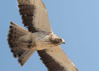 Imagen de un águila calzada, misma especie que la abatida. Foto: Ricardo Rodríguez
